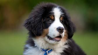 young Bernese mountain dog