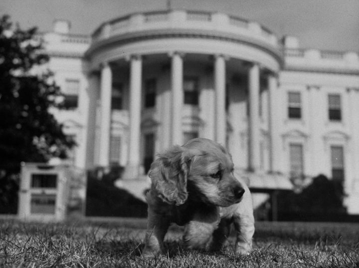 A puppy President Truman probably hated explores the White House Lawn during his administration. The puppy was name