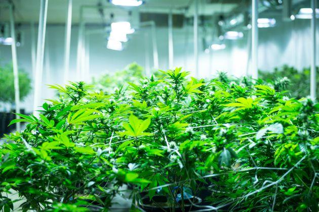 Marijuana's Health Effects? Top Scientists Weigh In