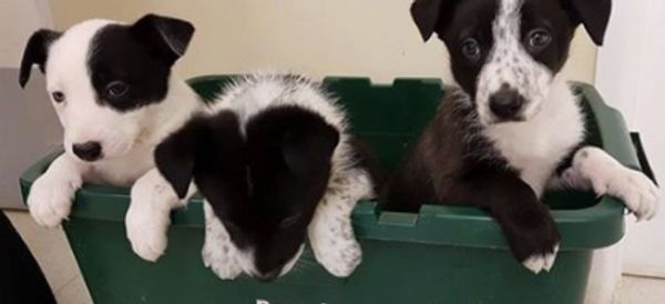 Dog Sniffs Out Abandoned Puppies In 'Lassie-Style Moment'