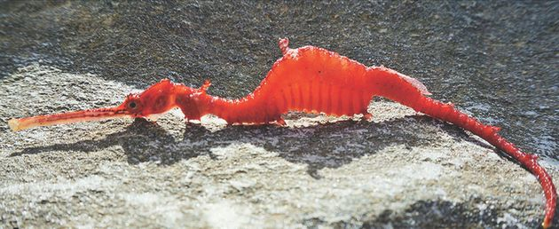 A ruby sea dragon that washed up on the Point Culver cliffs in Western