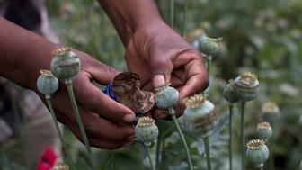 Recent picture of a working in a poppy field in Guerrero State, Mexico. Mexico is being whipped by drug cartels war disputing their local place and disputing the traffic to the United States, with unusual ferocity and sophisticated weapons. / AFP / Pedro Pardo        (Photo credit should read PEDRO PARDO/AFP/Getty Images)