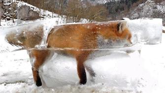 Fox is flash frozen in the Danube in southwestern Germany