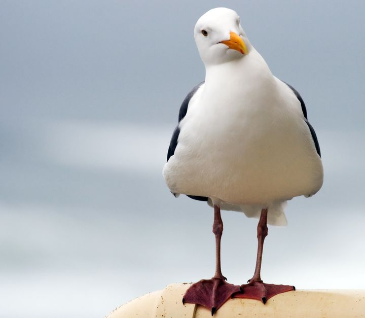 Gulls have been major victims of bird-strike eradication programs.
