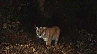 National Park Service photo of the Griffith Park mountain lion known as P-22 is shown in this remote camera image set up on a fresh deer kill in Griffith Park in this November 2014 photo. The mountain lion was found on April 13, 2015 taking refuge in the crawl space under a Los Angeles house and resisting all efforts to evict him.  REUTERS/National Park Service/Handout   FOR EDITORIAL USE ONLY. NOT FOR SALE FOR MARKETING OR ADVERTISING CAMPAIGNS. THIS IMAGE HAS BEEN SUPPLIED BY A THIRD PARTY. IT IS DISTRIBUTED, EXACTLY AS RECEIVED BY REUTERS, AS A SERVICE TO CLIENTS