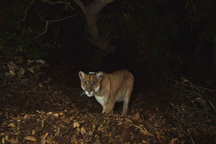 National Park Service photo of the Griffith Park mountain lion known as P-22 is shown in this remote camera image set up on a