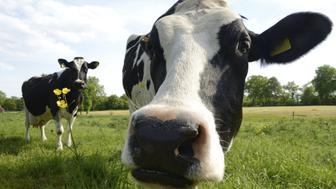 Close-up of two curious cows. Low angle view taken in Friesland, German North Sea Region