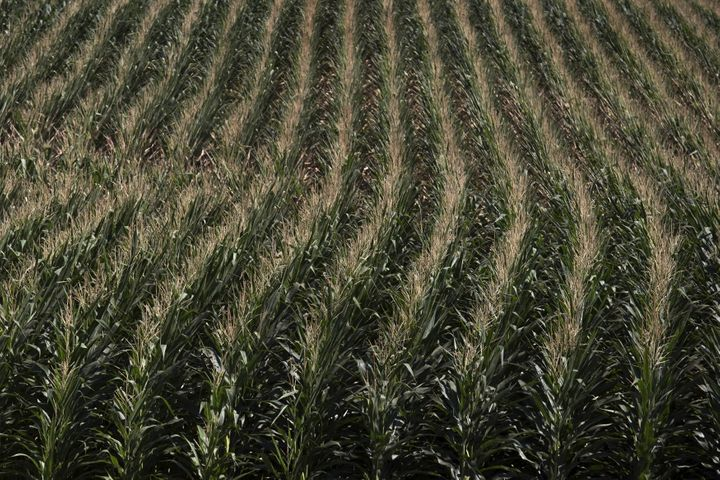 A corn field is seen in DeWitt, Iowa in this July 12, 2012 file photo. The state's agriculture lobby is fighting a lawsuit th