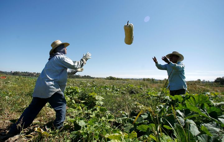 Farm workers harvest squash from the Chino Farm in Rancho Santa Fe, California, U.S. on October 3, 2007