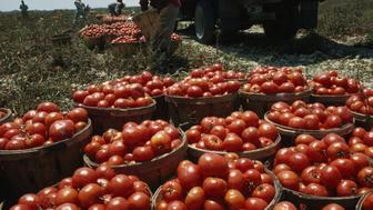 UNITED STATES - DECEMBER 01:  Ripe tomatoes sit in baskets ready for shipment to canneries, Near Florida City, Florida  (Photo by Winfield Parks/National Geographic/Getty Images)