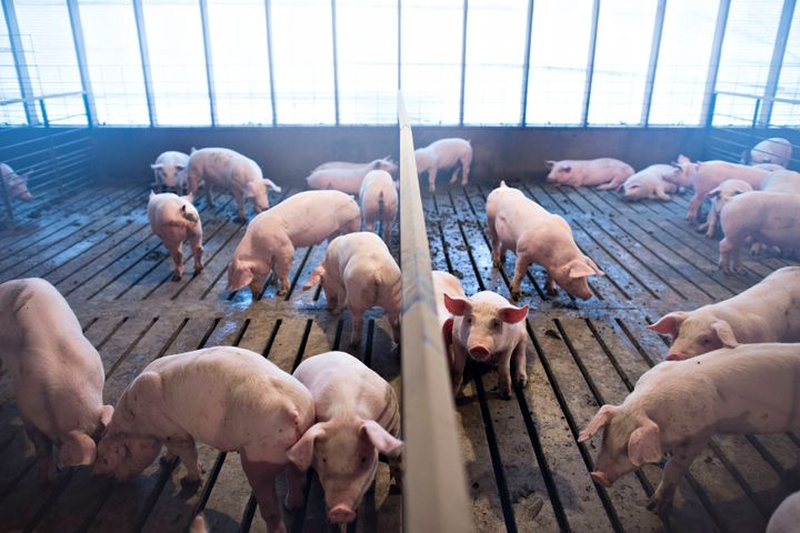 Several-week-old pigs stand in a pen inside a barn at Paustian Enterprises in Walcott, Iowa, November 19, 2014.