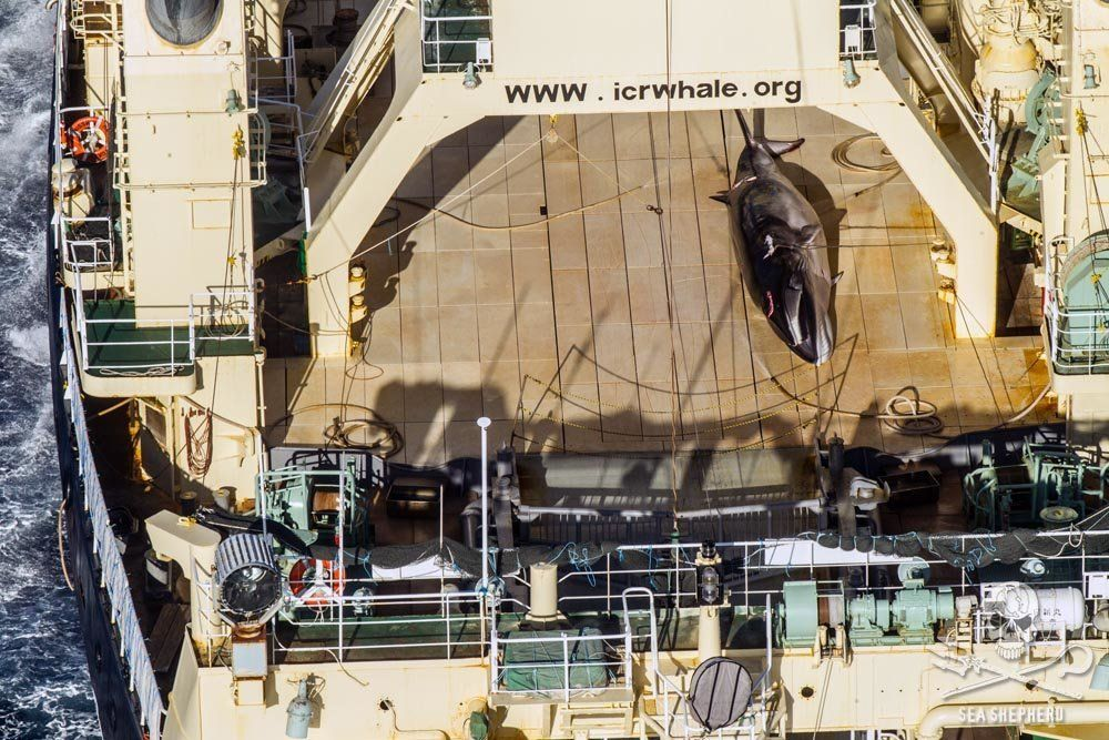 The Japanese ship Nisshin Maru, seen with a dead animal on its deck.