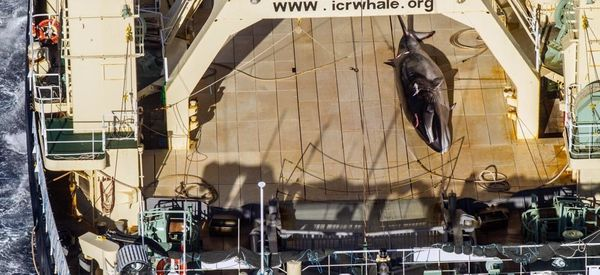 Japanese Vessel Caught With Dead Whale Onboard, Activist Group Says