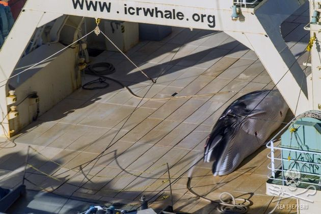 Sea Shepherd said the images released Sunday are the first to show Japan flouting the 2014 international...