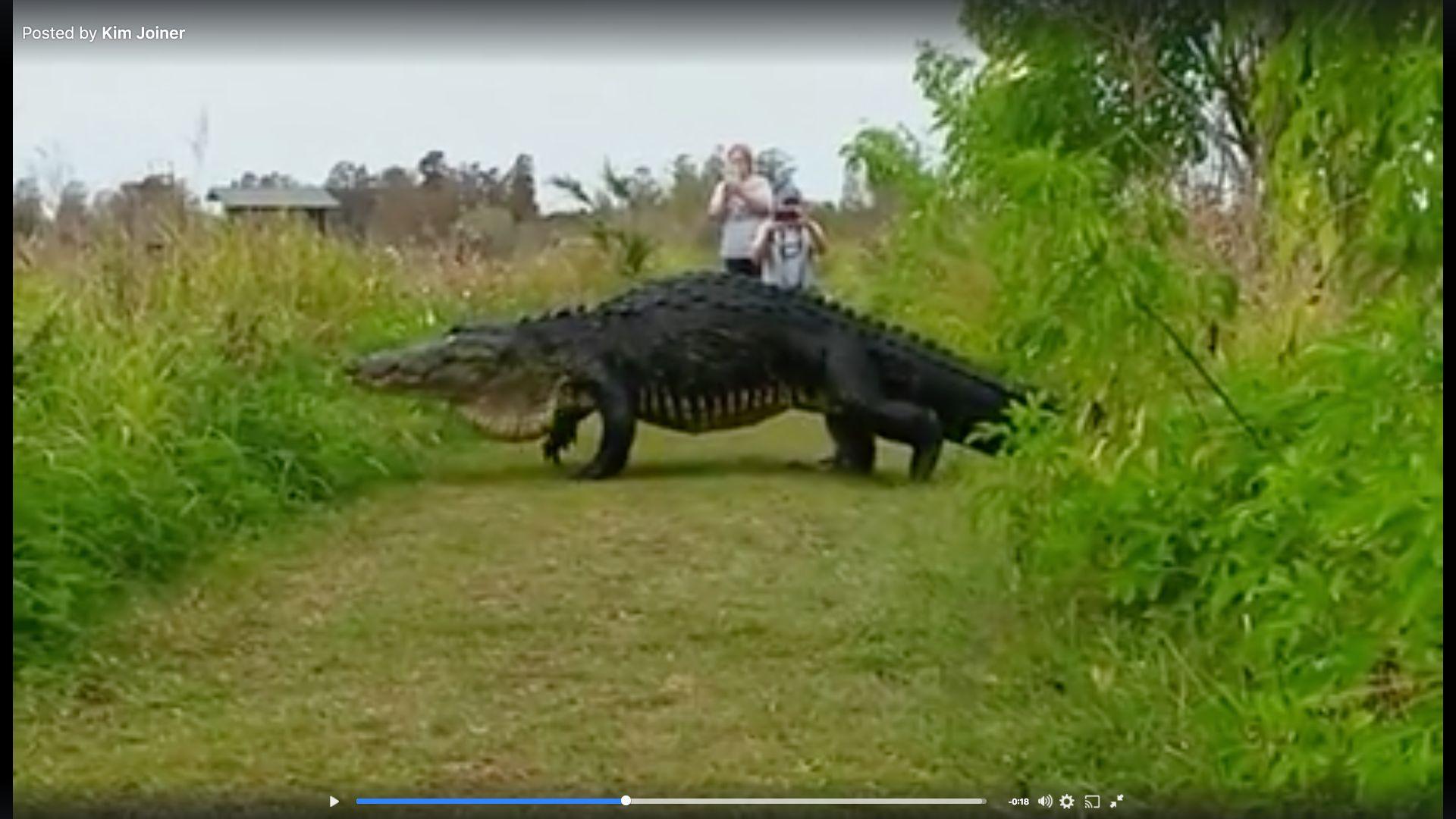 フロリダのワニはたくさんいるが、メスでこんなに巨大なのは珍しい(動画)