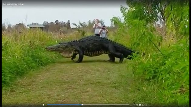 People in Floridagot an unexpected treat when this massive alligator crossed their