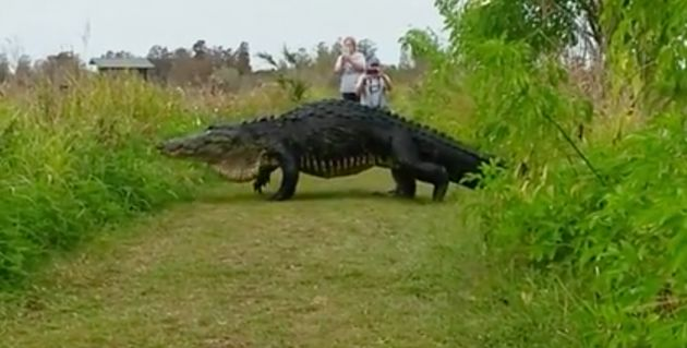 KIM JOINER/FACEBOOK People in Florida got an unexpected treat when this massive alligator crossed their path.