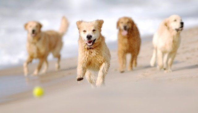 Finn (middle) was always first to his tennis ball, clearly fueled by an endless passion to retrieve.