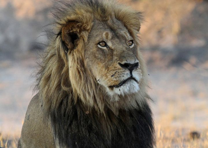 Cecil the Lion in happier days.
