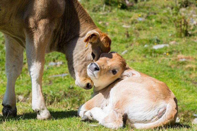 """Love between a mother and a child is precious, <a rel=""""nofollow"""" href=""""https://www.thedodo.com/cow-protects-calf-dairy-farmer"""