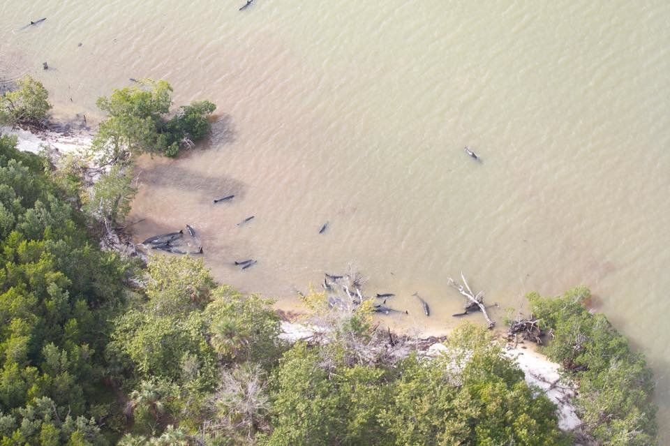 Nearly 100 false killer whales beached themselves in the Florida Everglades over the weekend. Most of them have died.