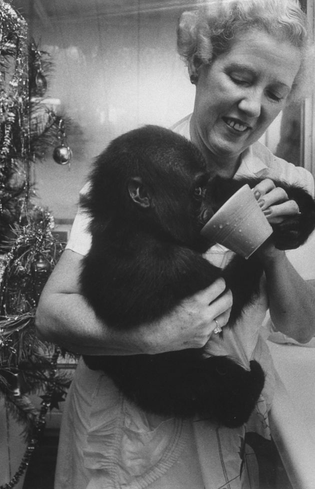 Colo as an infant, being held by the Columbus Zoo director's