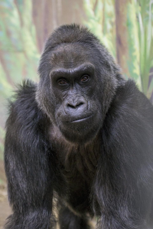 Colo, World's Oldest Known Gorilla, Dies At