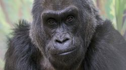 Colo, World's Oldest Known Gorilla, Dies At