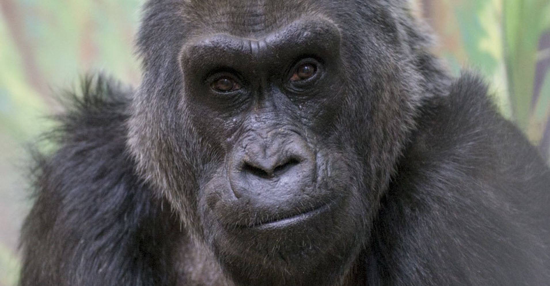 Colo World S Oldest Known Gorilla Dies At 60 Huffpost