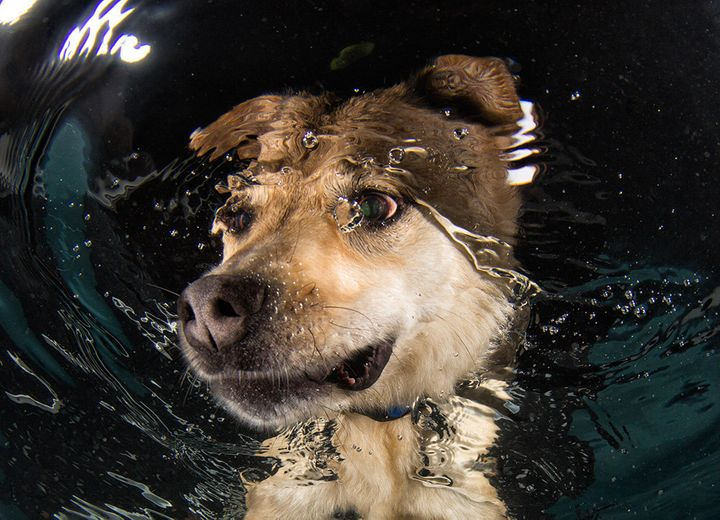 Mandy, a shepherd mix, gettinga swimming lesson at spcaLA. Mandy has since been adopted.