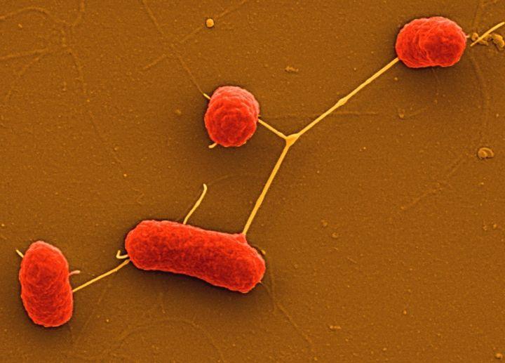 <p>An electron microscope image of E. coli bacteria</p>