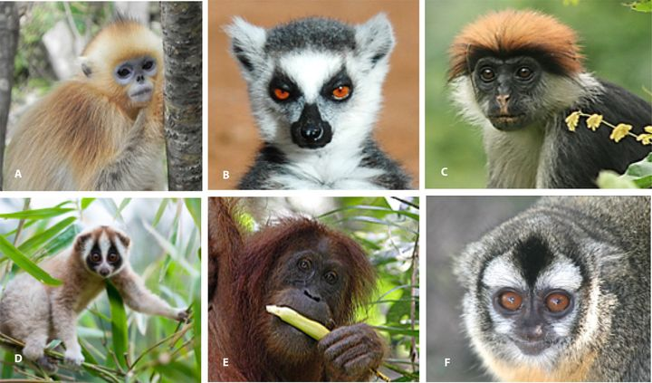 Pictured from the upper left going clockwise: Golden snub-nosed monkey, Ring-tailed lemur, Udzungwa red colobus, Ja