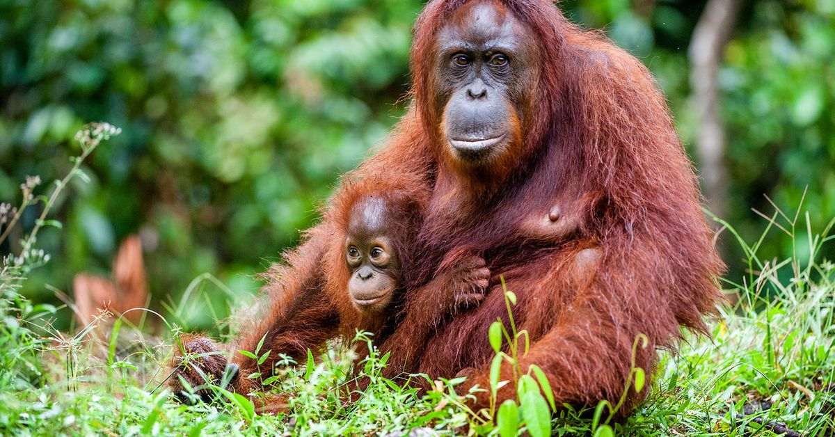 the risk of extinction of popular primates today