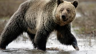 A grizzly bear roams through the Hayden Valley in Yellowstone National Park in Wyoming, May 18, 2014. The nearly 3,500 square mile park straddling the states of Wyoming, Montana and Idaho was founded in 1872 as America's first national park. Picture taken May 18, 2014. REUTERS/Jim Urquhart/File Photo