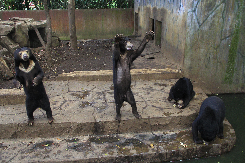 Skeletal Sun Bears In Indonesia Zoo Spark