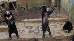 Skeletal Sun Bears In Indonesia Zoo Spark