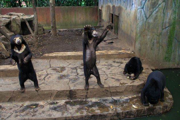 Captive sun bears appear to beg for food from visitors at a zoo in Bandung, Indonesia, on Jan.