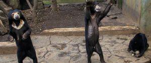 ABANDONED BANDUNG BEAR BEG FOOD INDONESIA SKINNY SKINNY BEARS VISITORS ZOO