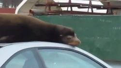 Sea Lion Naps On Roof Of A Car -- Because Why