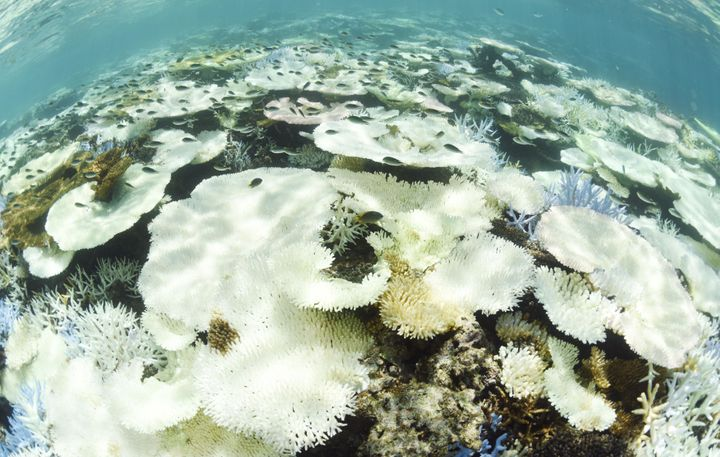 This photo shows bleached corals inSekiseishoko reef on Sept. 12, 2016. A survey conducted that month by the Environmen