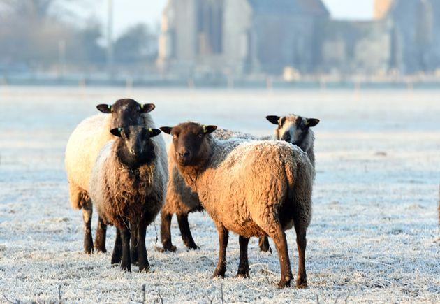 Sheep in a frosty field near Kings Lynn in Norfolk this
