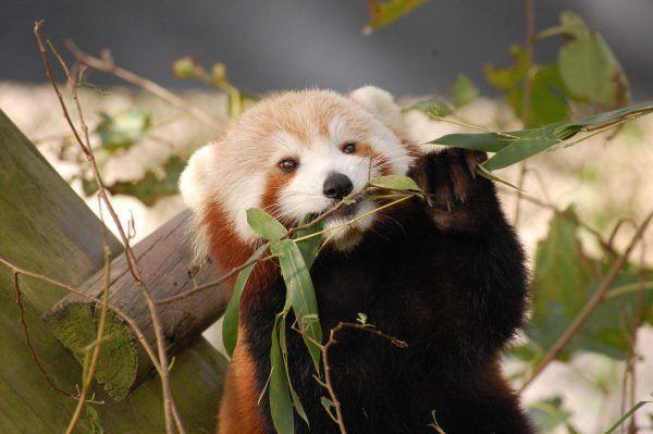 Virginia zoo scours neighborhood for missing red panda