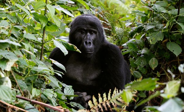 Scientists only discovered the mountain gorilla, an inhabitant of the forested volcanoes of central Africa, when a German exp