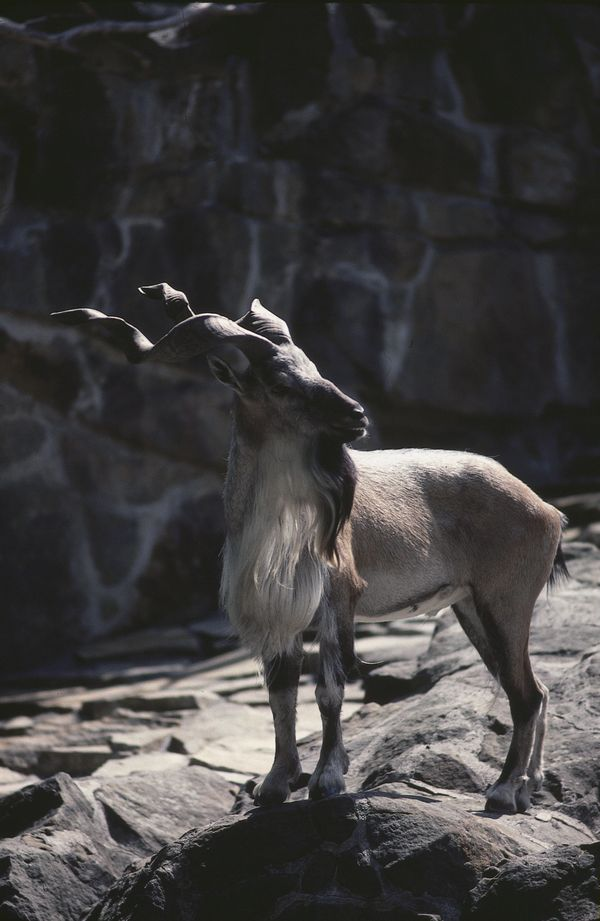 "The markhor&rsquo;s tremendously large, spiraled horns are considered some of the<a href=""http://modernfarmer.com/2014/08/10-"