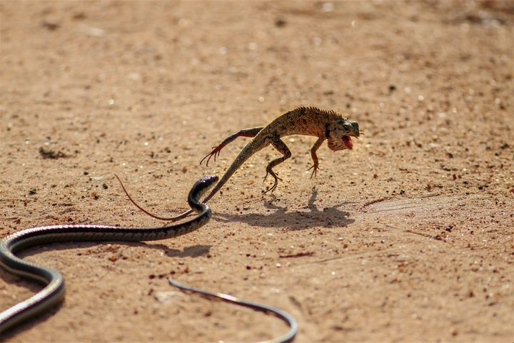 "Location: Yala National Park, Sri Lanka.&nbsp;<br /><br />""Dusty day is [fading and] we have reached to the golden hour. My eyes are [looking]&nbsp;into the bush searching for a leopard for my clients. Then, I saw the unusual behavior of a garden lizard in the middle of the road. Suddenly, I realized that the predator -- a common bronze back snake is not so far. We waited a few minutes to see what's going to happen. When the snake strikes, lizard acts like a monk from a Shaolin Temple."""