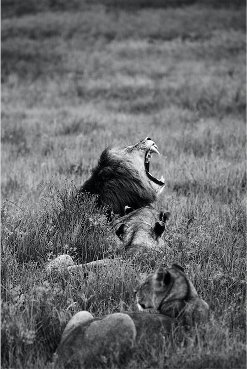 "Location: Nambiti Game Reserve, South Africa. <br /><br />""It was an early morning rise for us when our game ranger had been informed of mating activity within a group of lions. When we found the group, the sudden torrential downpour put a halt on the lions activity but created a different photographic opportunity. The lions were completely exposed to the elements with no nearby shelter on offer. Camera at the ready, it was only a matter of time before the lions did what they could in order to keep themselves dry..."""
