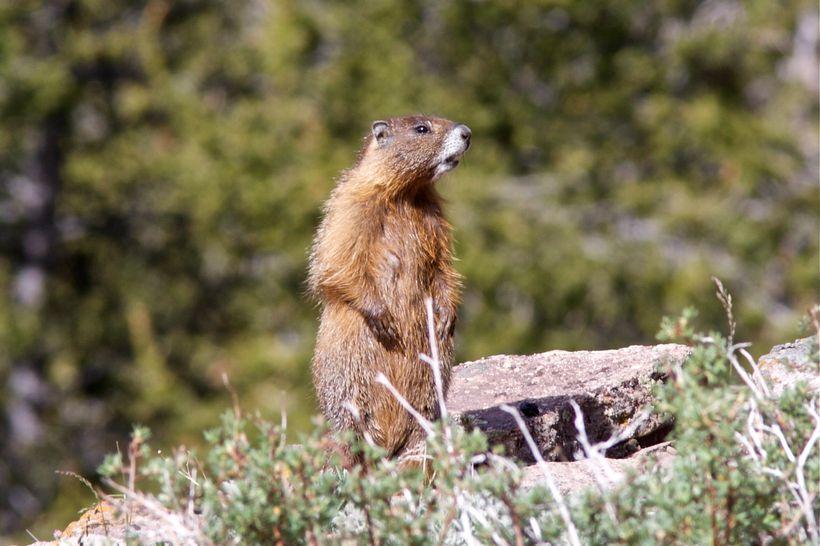 A yellow-bellied marmot alarm calling in a Colorado alpine meadow.