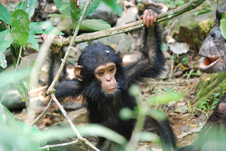 A baby chimpanzee in Gombe National Park, Tanzania.