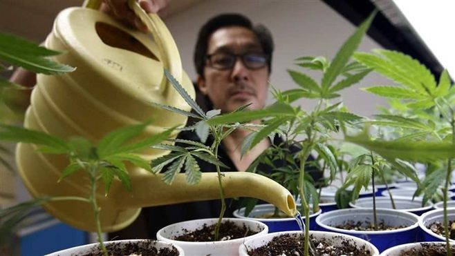 An employee waters plants at a medical marijuana dispensary in Sacramento, California. Voters in the state legalized recreati