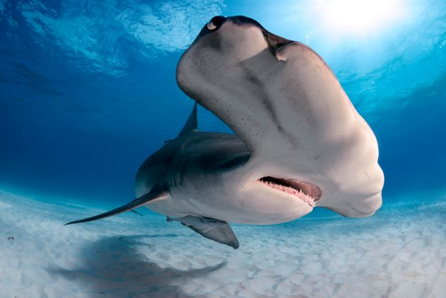 Sharks Could Be Resistant To Cancer And Scientists Think They Know